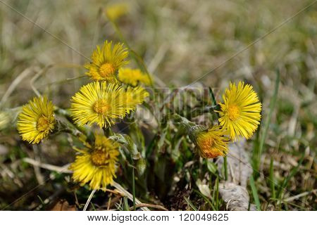 Coltsfoot In The Meadow