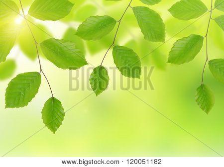 Spring Beech branch