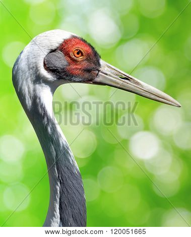 The White-naped crane (Grus vipio)