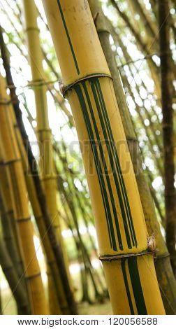 Yellow bamboo close up