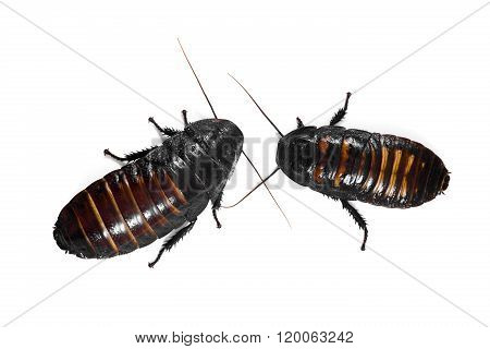 Madagascar hissin Cockroaches