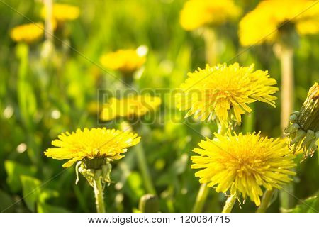 Meadow With Grass And Dandelion Flowers