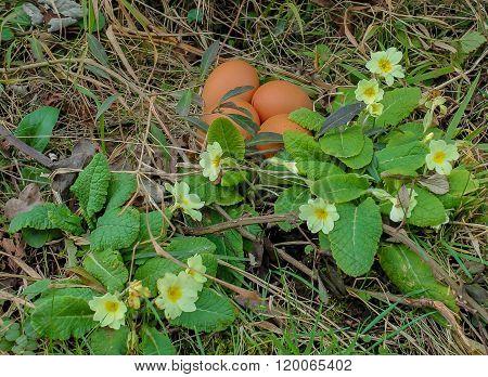 Eggs In The Primrose