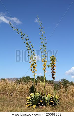Blooming Agave Plants