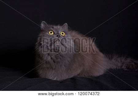 Crossbreed of siberian and persian cat lying on black background