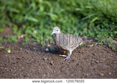 Gray bird. Tahiti in a sunny day