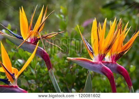 Blooming Flower Of Tropical Strelitzia Reginae