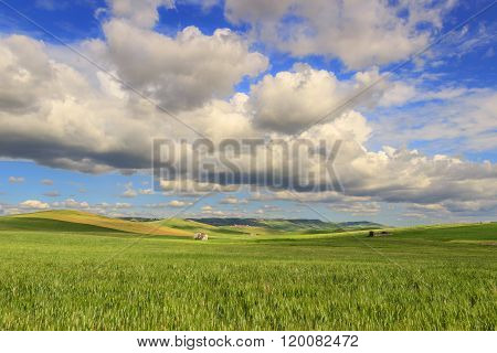 SPRINGTIME.Between Apulia and Basilicata.Hilly landscape with corn field immature, dominated by clou