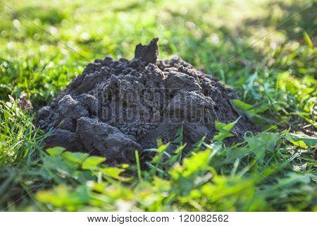 Isolated molehill in grass
