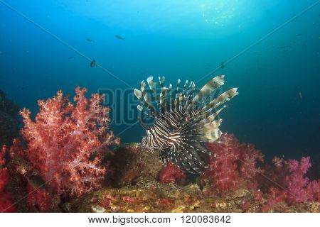 Lionfish and red soft corals