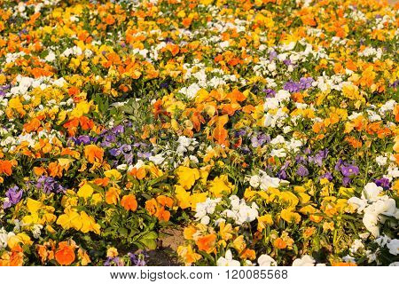 Blooming Pansy Flowers As Background