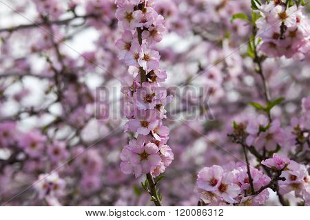 Almond Tree Branch Covered In Blooming Pink Flowers