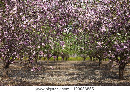 Pink Almond Gate