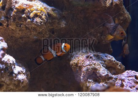 Western clown anemone fish