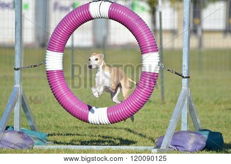 Greyhound At Dog Agility Trial