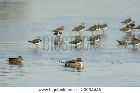 Northern Pintail and Northern Lapwing