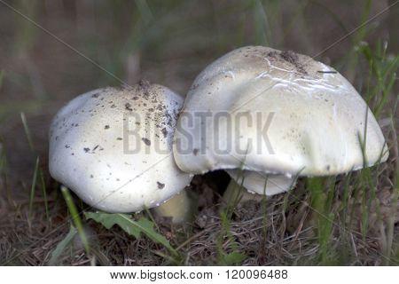 Two White, Round Mushrooms