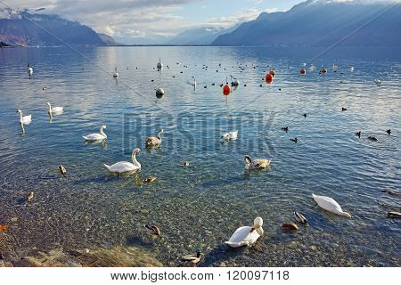 Swans swimming in Lake Geneva, Vevey, Switzerland
