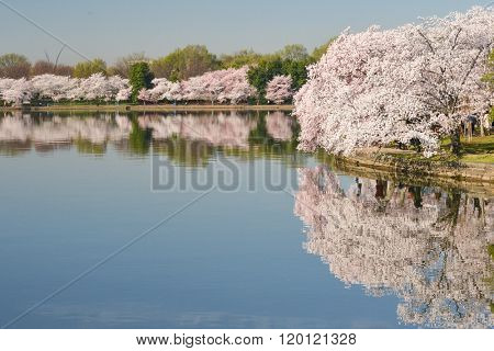 Tidal Basin during Cherry Blossom Festival - Washington DC United States