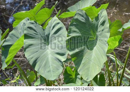 fresh colocasia esculenta leaves