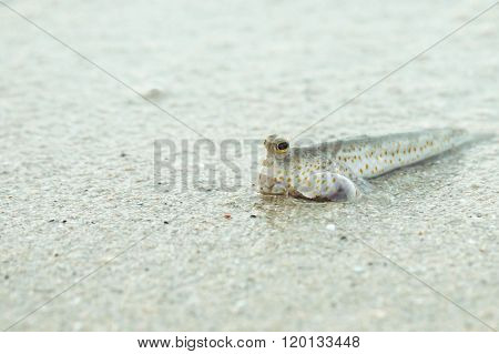 Portrait of a Gold Spotted Mud Skipper