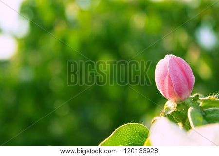 Pink Quince Flower Blooming Around Leaves In Sunlight