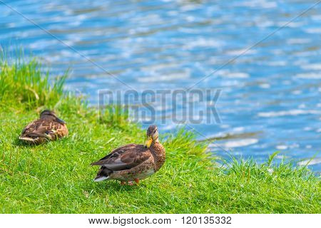 Two Ducks Resting By The Lake On A Green Lawn