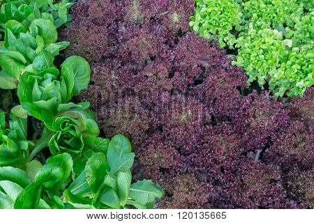 CosRed coral and Green Oakleaf lettuce in garden