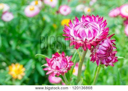 Straw Flower, Everlasting,flowers In Garden