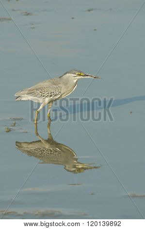 Portrait of a Striated Heron