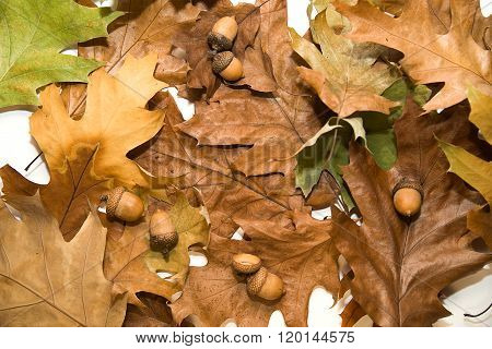 Many Dry Autumn Oak Leafs And Acorns On  Over White