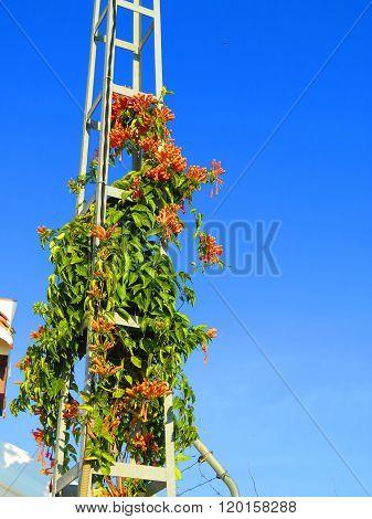 Honeysuckle Growing On Pylon