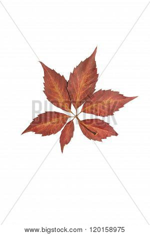 Pressed And Dried Virginia Creeper Leaf.