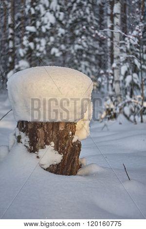 stump stub under snow in pine forest.