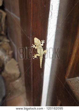 Pale Gecko Lizard