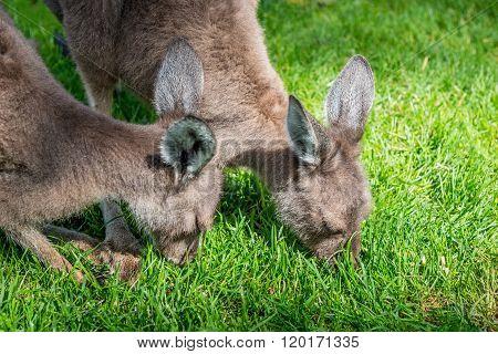 Two Young Kangaroo In Australia