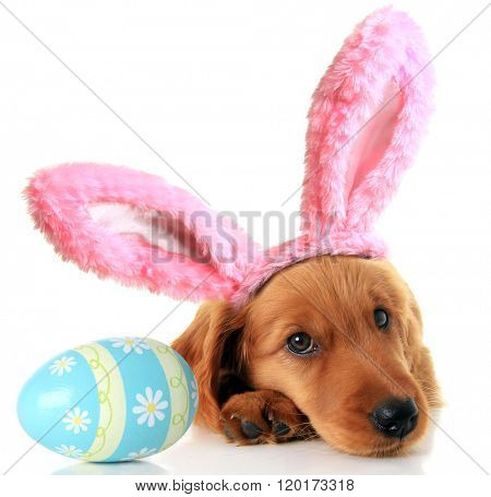 Irish Setter puppy wearing Easter bunny ears next to an Easter egg.
