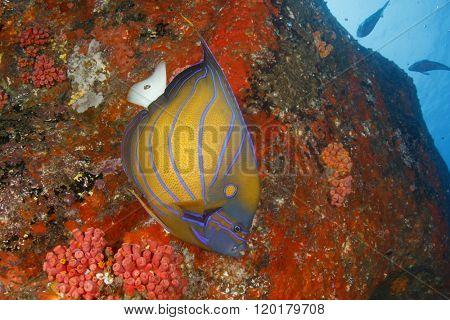 Blue-ringed Anglefish