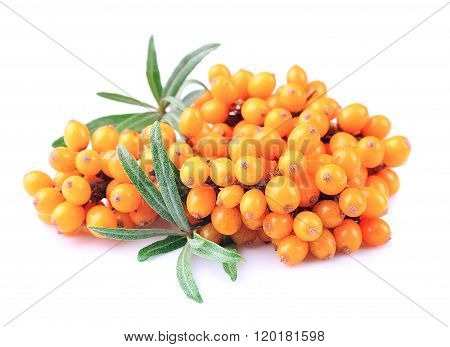 Sea-buckthorn Branch
