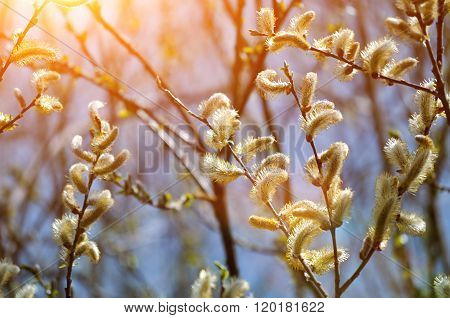 -yellow Fluffy  Buds Of Goat Willow Under Sunlight - Spring Background