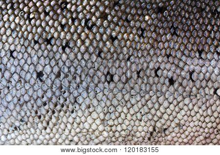 Background Salmon's Skin
