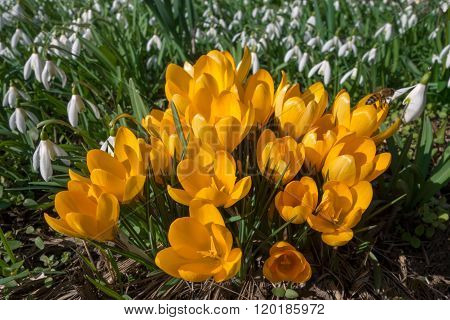 Yellow crocuses with snowdrops