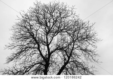 Fine branched, bare tree