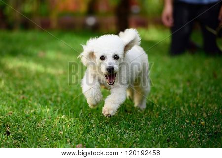 Poodle Run On Grass