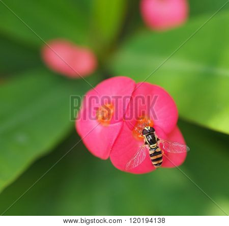 Bee Sucking Nectar From Pink Euphorbia Milii Flower