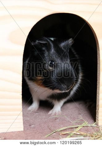 young guinea pig in the shelter