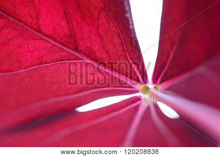 Beautiful Violet Sorrel Leaf on the White Background. Macro Photo