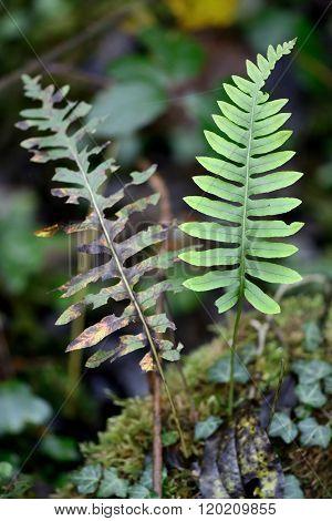 Polypody (Polypodium vulgare)