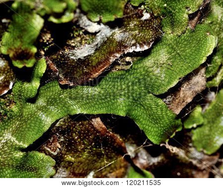 Great scented liverwort (Conocephalum conicum)
