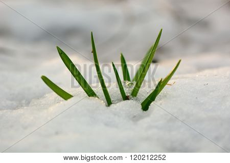 Bluebell (Hyacinthoides non-scripta) emerging through snow